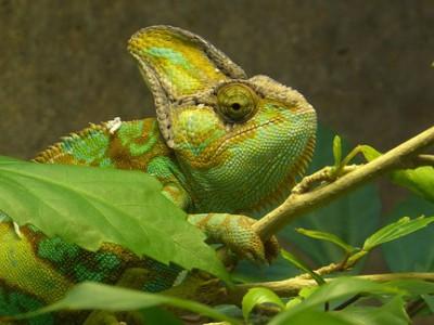 Il camaleonte e i suoi mille colori