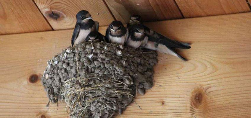 In primavera arrivano le rondini: migrazione e nidificazione