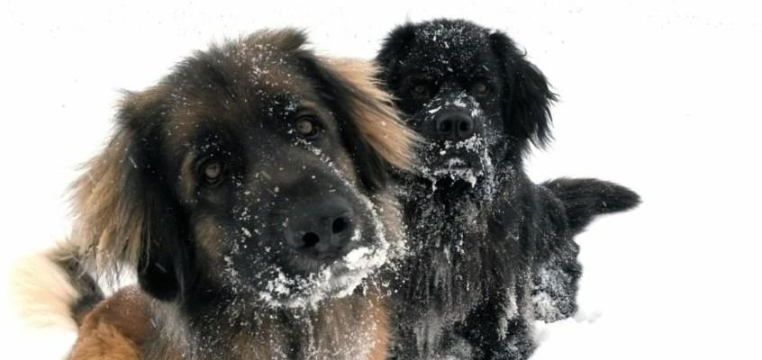 Cani sulla neve: i pericoli da evitare