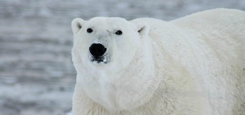 Orso polare, simbolo dei cambiamenti climatici