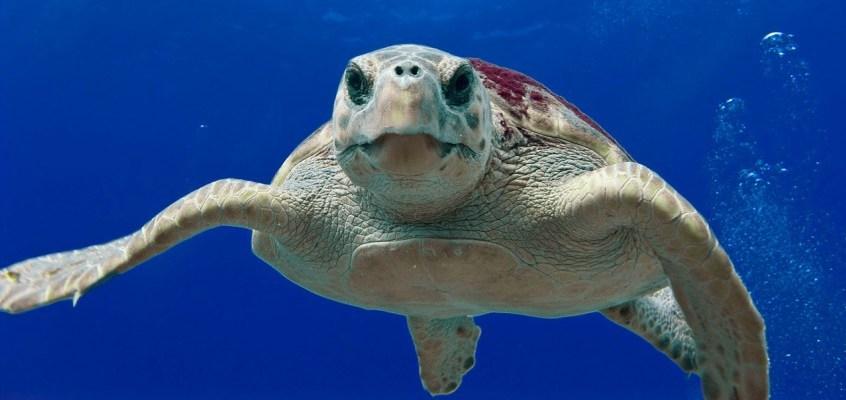 Tartaruga Caretta caretta curiosità: dalla riproduzione alla schiusa delle uova