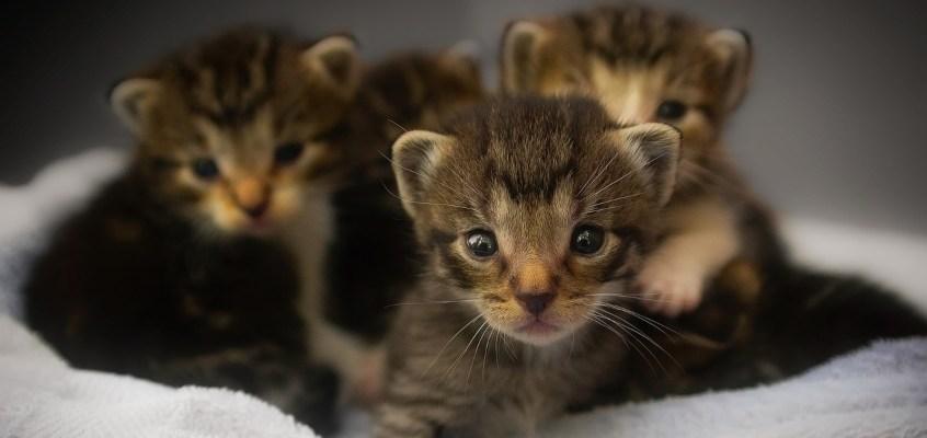 Post-partum della gatta: dalla nascita dei piccoli allo svezzamento