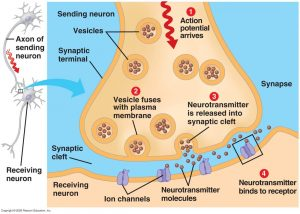 Synaptic Cleft – The Nerve Impulse