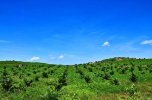 Views of the oil palm plantation on the hill