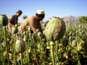 Afghan opium production reaches record high