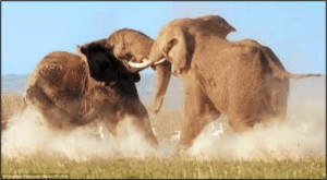 elephants fight