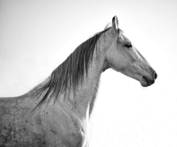 Grey Marwari horse in majestic pose