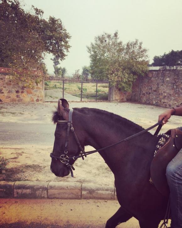 Marwari horse with bitless bridle