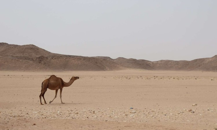 A wild camel walking