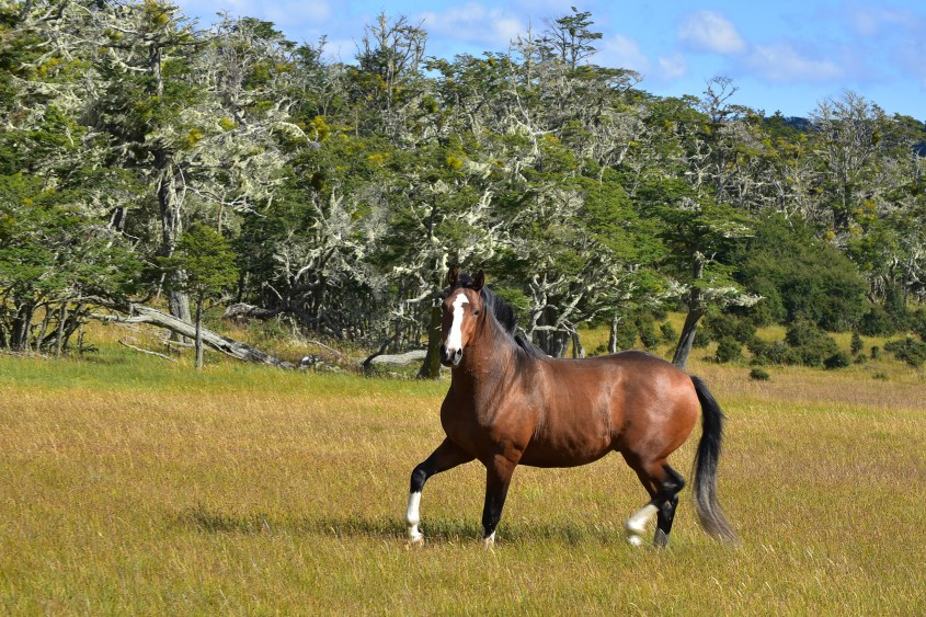 One of the beautiful and strong Criollo horses, you can experience when horse riding in Argentina