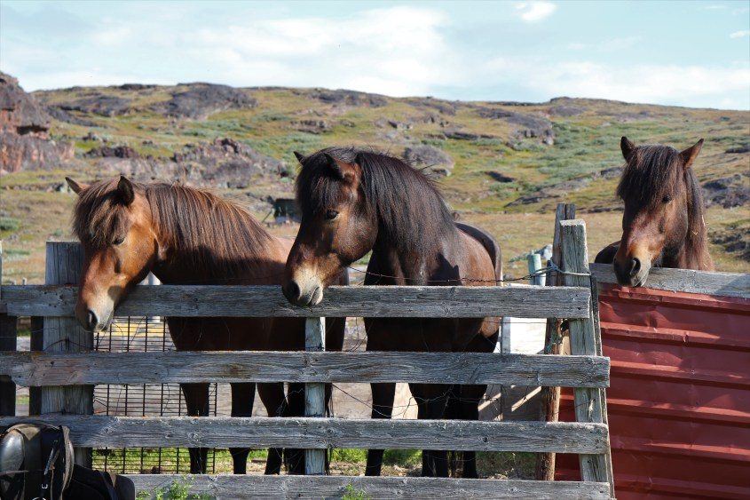 Three Icelandic horses are keen to start the ride in the morning to explore Greenland.