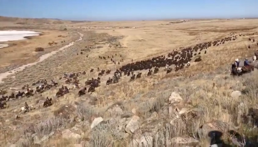 Riders give the final push to the herd during the yearly bison roundup on Antelope Island, Utah