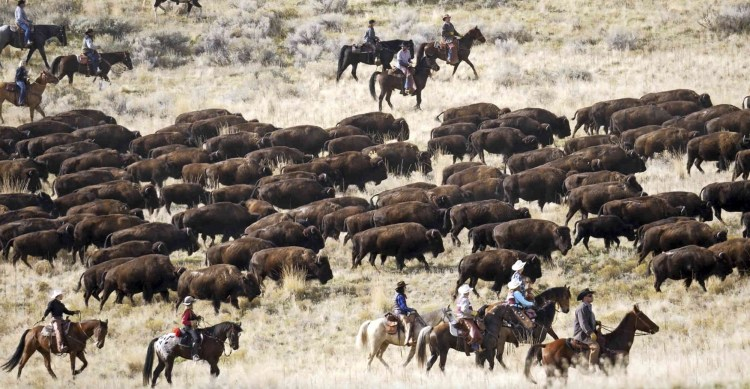 Horse riders, cowboy and an equestrian adventuress are driving bison to their winter pens