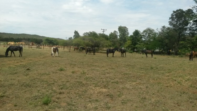 A grazing herd of horses at an equestrian facility