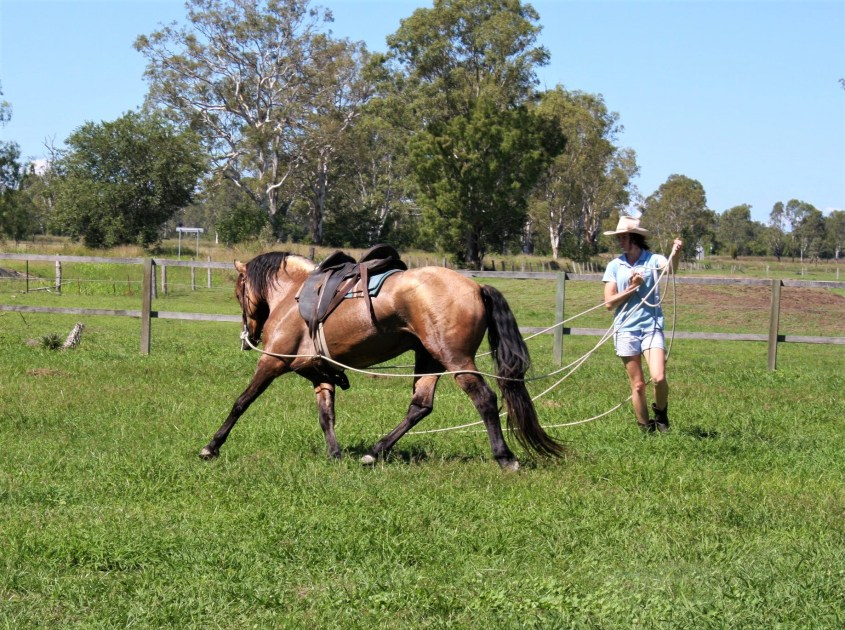 Training a young stallion stallion thoroughly on the ground before riding him for the first time. This is part of Odessa's system for horsemanship in Australia