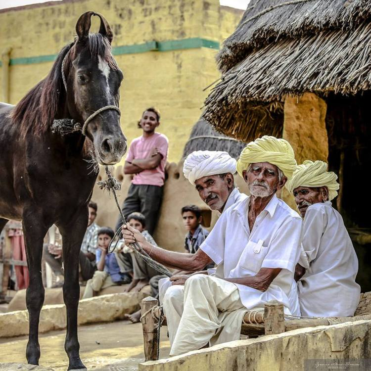 The Marwari horse is an integral part of the rural culture in India