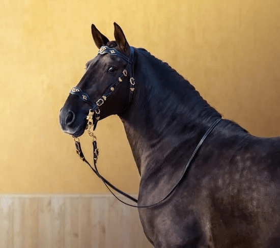 A beautiful dark horses is standing wearing an ornate bridle. Make sure you can ride a Lusitano when you go horseback riding in Portugal.