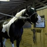 horse being treated for sweet itch