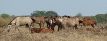 Huddle of a multi-stallion band in Los Llanos (Venezuela)