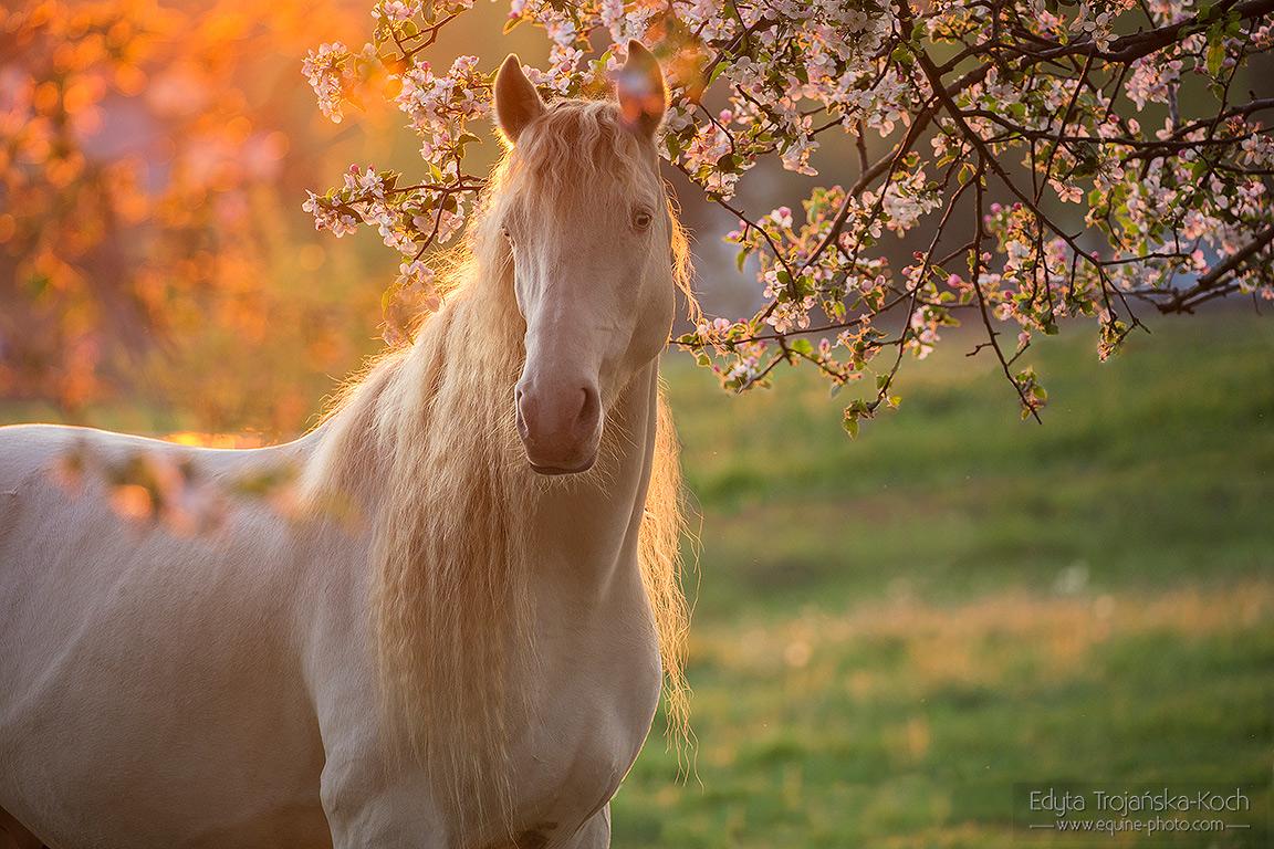 Portret konia cruzado na tle kwitnących drzew o zachodzie