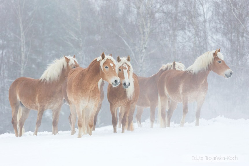 Haflingers herd standing in the mist in winter