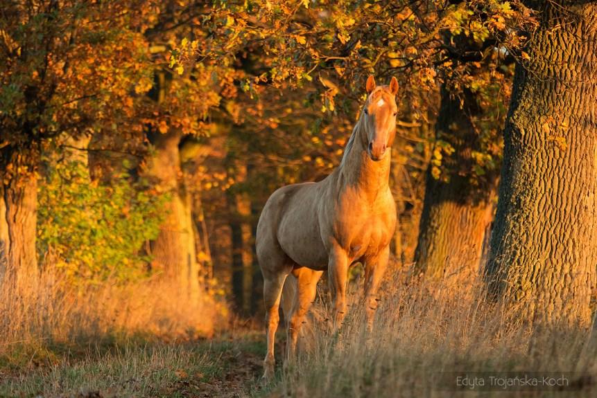 AQH szampański ogier stojący jesienią o wschodzie słońca w dębowej alei zdjęcia koni