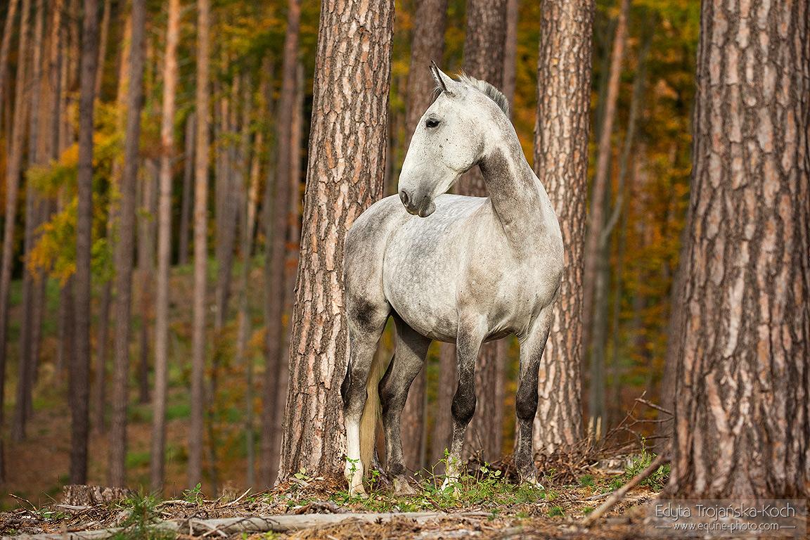 Koń lipicański stojący w jesiennym lesie wśród drzew
