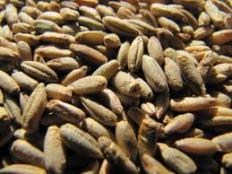 Grains Fed To Horses, Oats, barley, wheat, corn, rye, not all grains are meant for horses