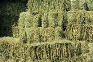 Hay Varieties, Cutting To The Chase