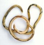 Ascarid - Roundworm
