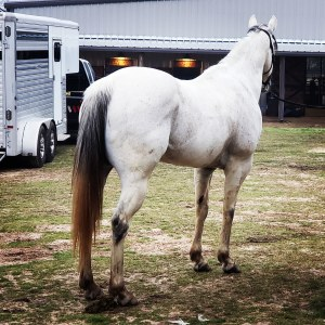 Equine Challenge Pro Amino Toni Martin Barrel Horses