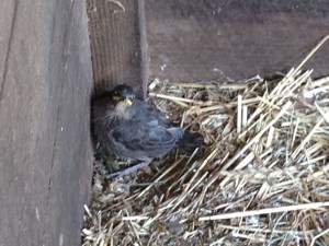 Fledgling in the barn