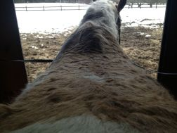 Curly's back is not exactly the same shape as Freedom's! Most of my saddles are not the right shape and size.