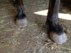 Zelda's hooves pre-trim