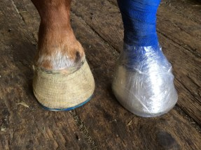 Farrier services glue on shoes