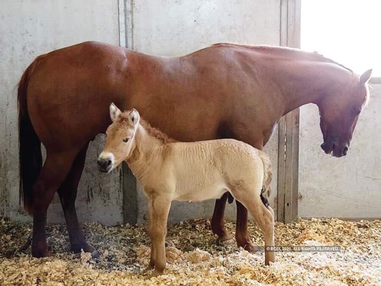 Cloned Przewalski's Horse