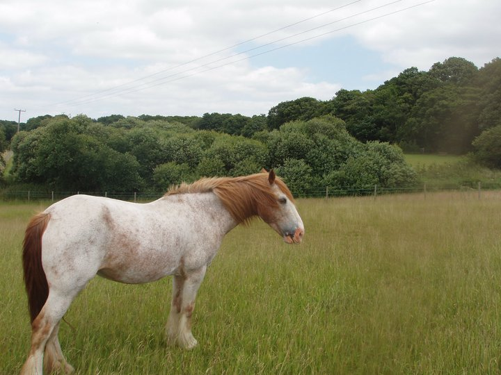 ginny the cob, the type to get obesity related laminitis, equine flu
