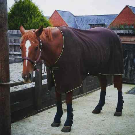 Scottie being grumpy on box rest! Great photo for his phrenology though! Preventing equine flu