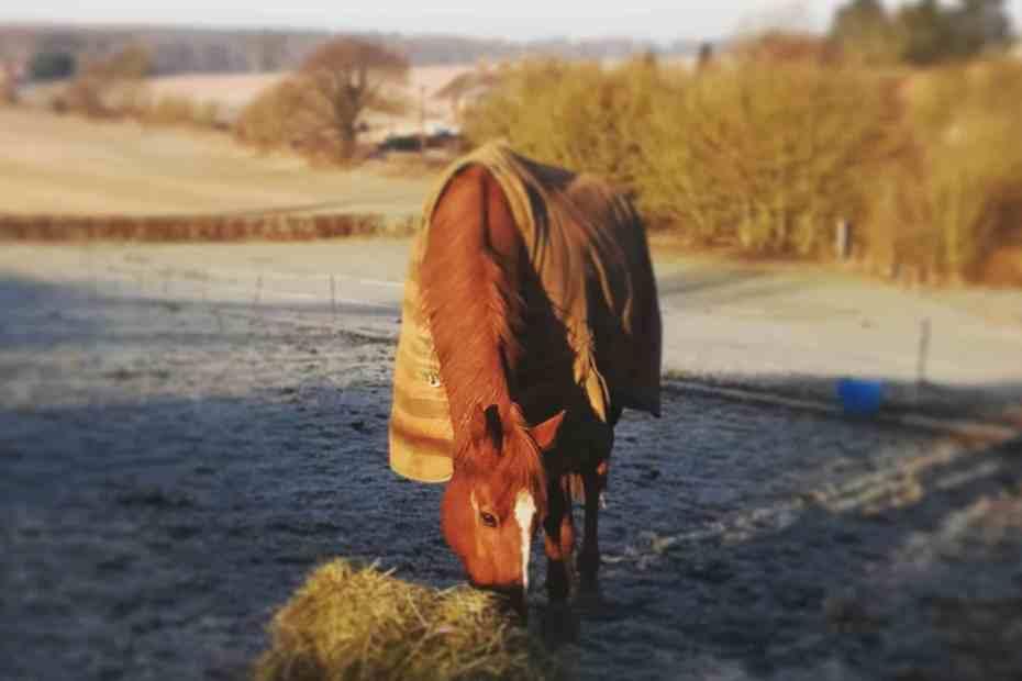 Scottie eating hay in his frosty winter field