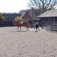 introducing trot when long reining Scottie