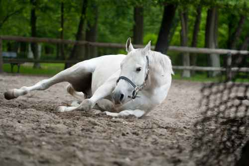 selective focus photography of white horse laying on ground. What is colic