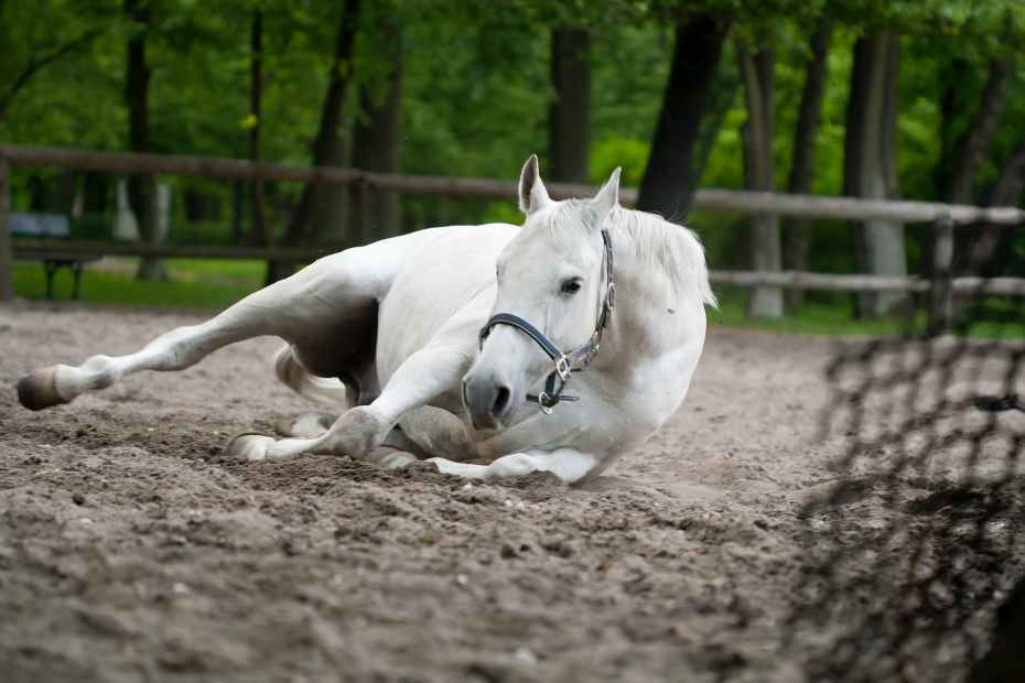 selective focus photography of white horse laying on ground, how to treat colic