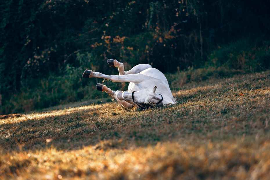 white horse rolling - what is colic
