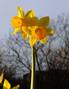 my sunny daffodils, on my list!