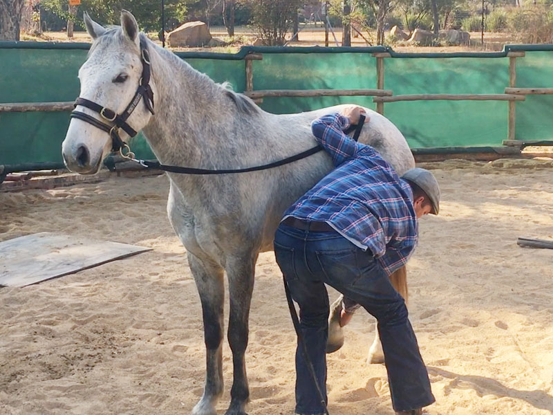 Standing for the farrier - desensitizing a horse through schooling with a Dually halter