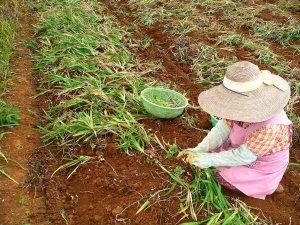 フリージアの収穫