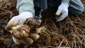 ゆり球根掘り取り作業