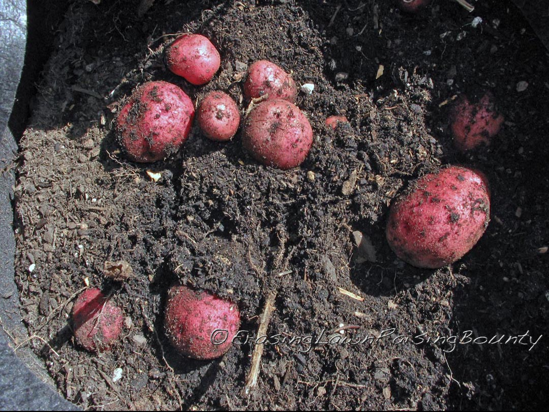 'Cranberry Red' potatoes being dug up from growing bags