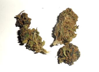 Infiorescenza femminile di cannabis light Amnesia di Hempirica