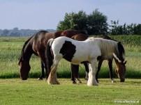 Paarden 04
